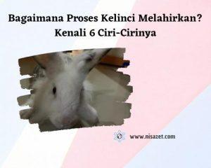 proses kelinci melahirkan cover